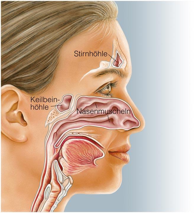Aufbau und Funktion der Nasennebenhöhlen